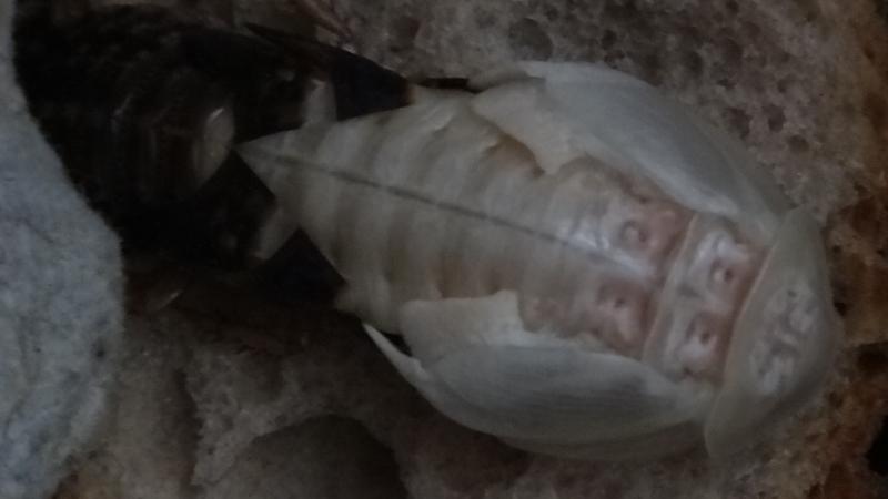 Blaptica dubia čerstvý adult samce se svlekem