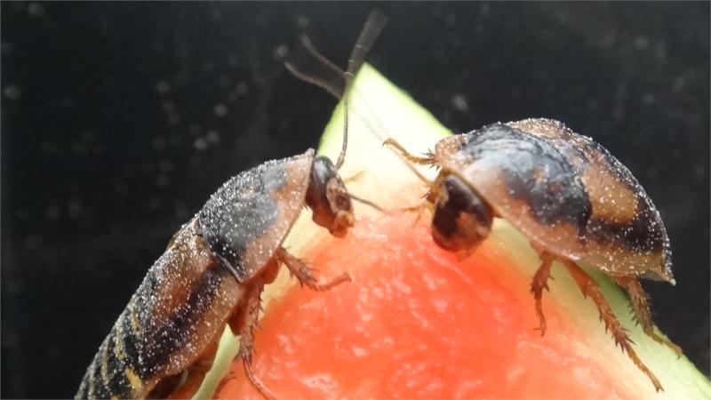 Dvojice Blaptica dubia závodí o meloun