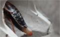Detail Blaptica dubia se střední ootékou