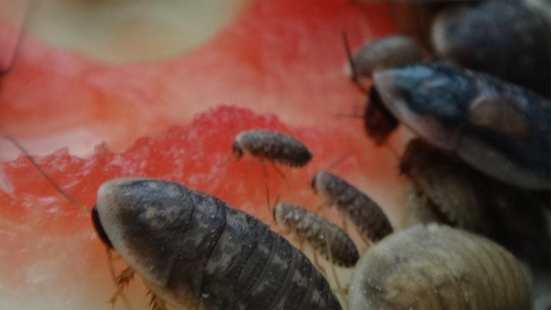 Blaptica dubia setkání generací na melounu