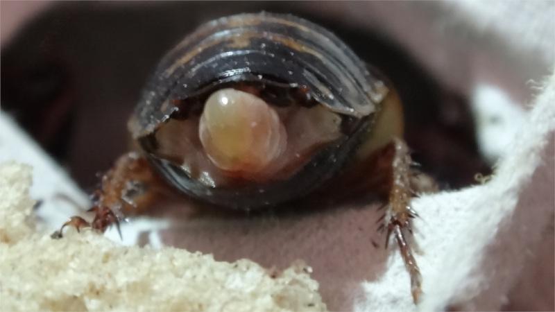 Detail samice Blaptica dubia s ootékou zezadu