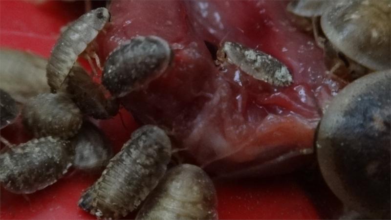 Závod švábů Blaptica dubia o čerstvé kuřecí srdce