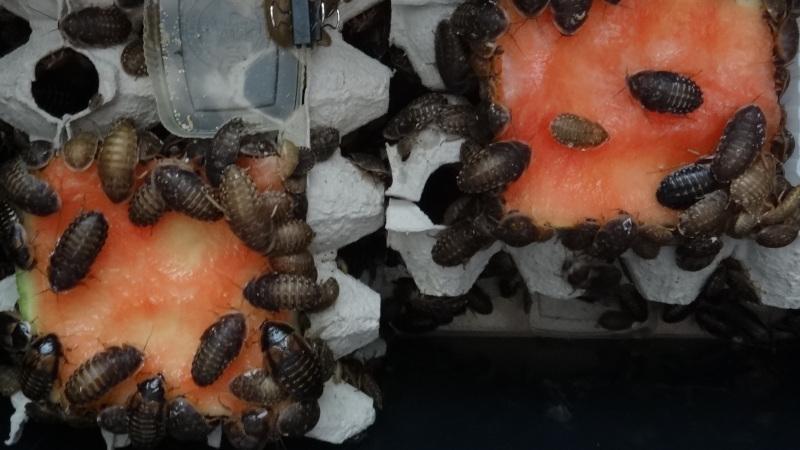 Mláďata Blaptica dubia se pustila do melounu