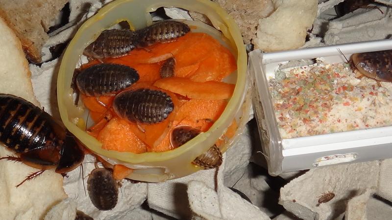 Blaptica dubie a bohatá nabídka potravy mrkev směs pro rybičky rohlík chléb suchá směs Blaberus