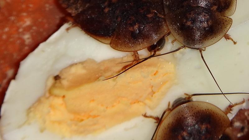 Blaptica dubia a slepičí vajíčko na tvrdo