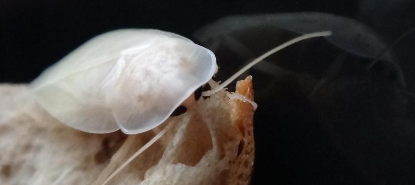Uvítací obrázek s maskotem kolonie BLABERUS adultem švába ihned po svleku a s textem Blaberus Vás vítá mezi šváby